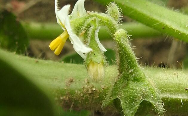 <b>Glanzfrüchtiger Nachtschatten - <i>Solanum physalifolium</i></b>