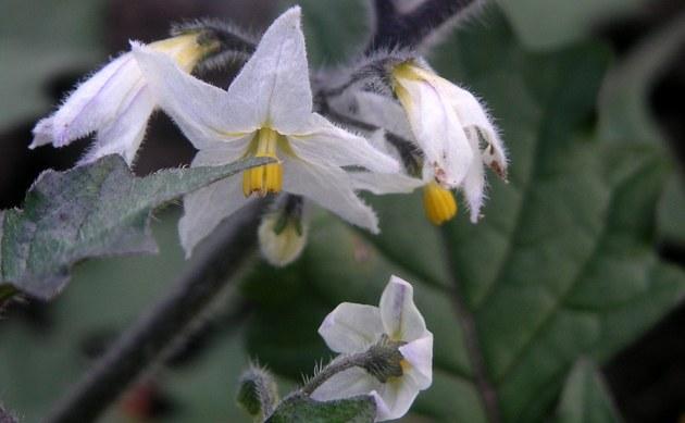 <b>Gelbfrüchtiger Nachtschatten - <i>Solanum villosum</i></b>