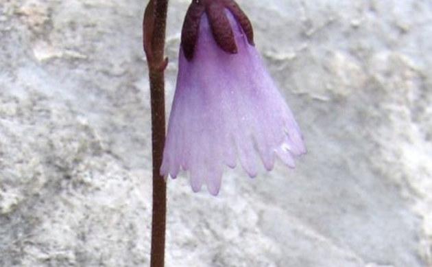 <b>Winziges Alpenglöckchen - <i>Soldanella minima</i></b>