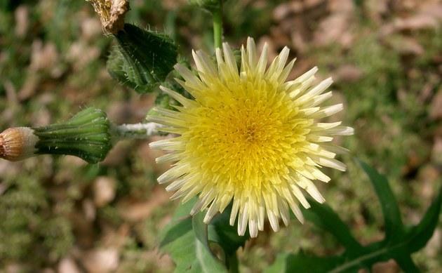 <b>Kohl Gänsedistel - <i>Sonchus oleraceus</i></b>