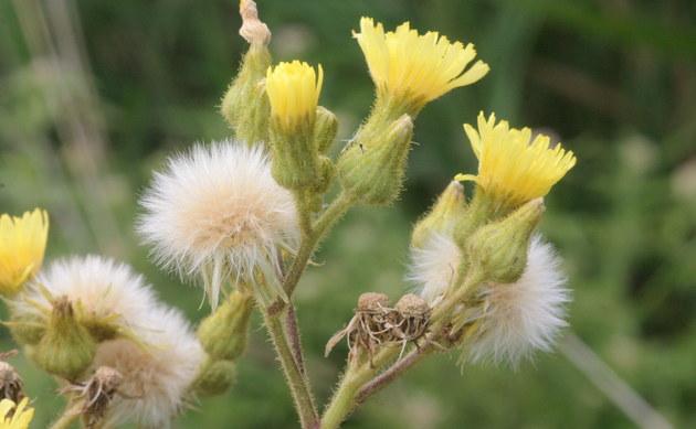 <b>Sumpf Gänsedistel - <i>Sonchus palustris</i></b>