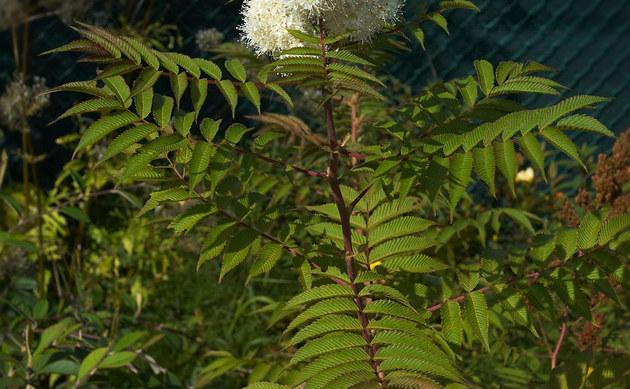 <b>Fieder-Spierstrauch - <i>Sorbaria sorbifolia</i></b>