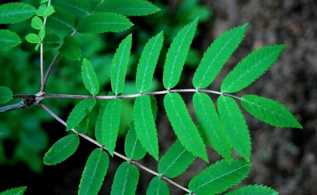 <b>Vogelbeere - <i>Sorbus aucuparia</i></b>