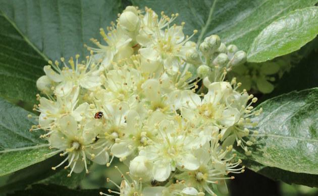 <b>Donau-Mehlbeere - <i>Sorbus danubialis</i></b>