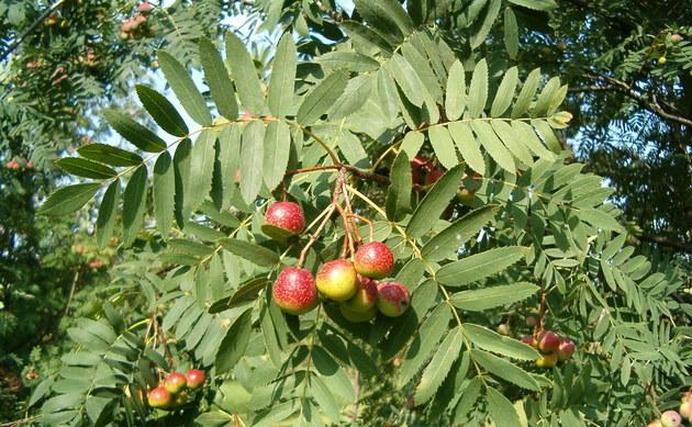 <b>Speierling - <i>Sorbus domestica</i></b>