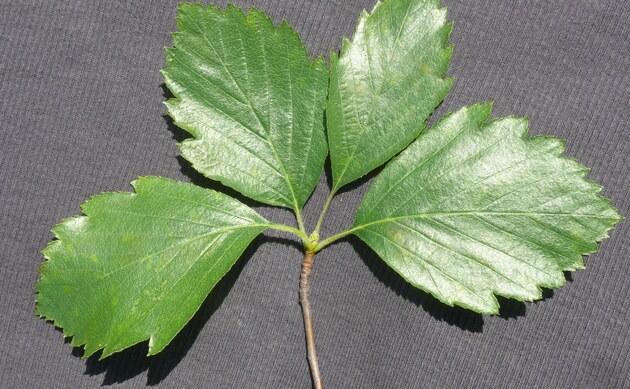 <b>Fränkische Mehlbeere - <i>Sorbus franconica</i></b>