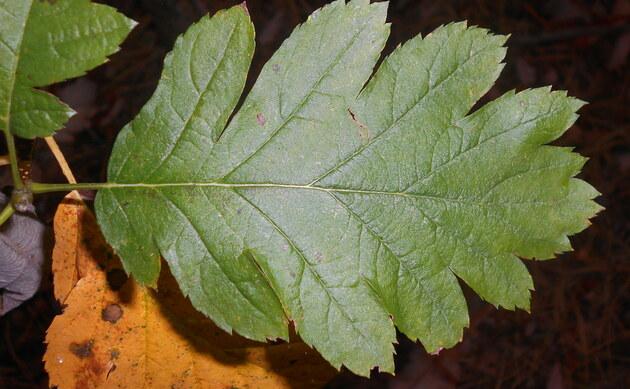 <b>Schwedische Mehlbeere - <i>Sorbus intermedia</i></b>