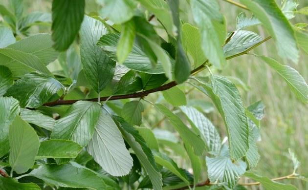 <b>Pannonische Mehlbeere - <i>Sorbus pannonica</i></b>