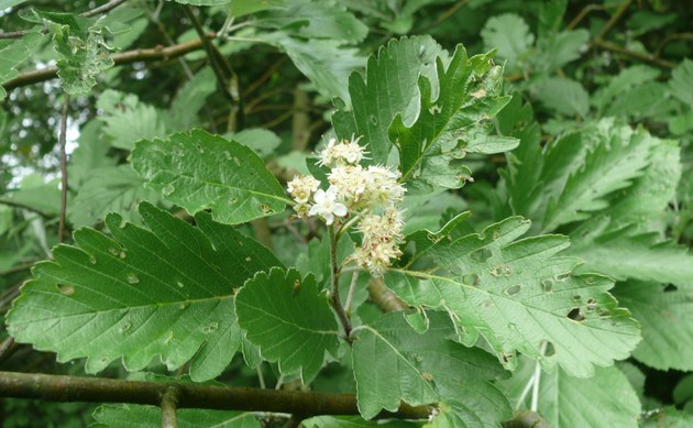 <b>Hersbrucker Vogelbeere - <i>Sorbus pseudothuringiaca</i></b>