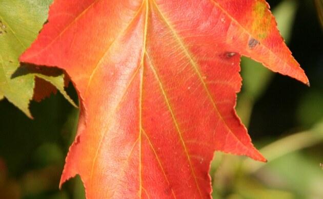 <b>Elsbeere - <i>Sorbus torminalis</i></b>