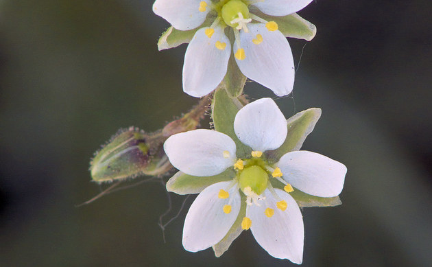 <b>Acker-Spark - <i>Spergula arvensis</i></b>