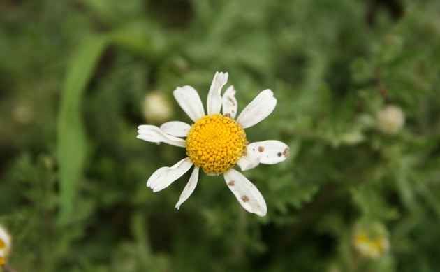 <b>Ruthenische Hundskamille - <i>Anthemis ruthenica</i></b>
