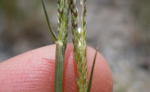 <b>Verstecktblütiges Fallsamengras - <i>Sporobolus cryptandrus</i></b>