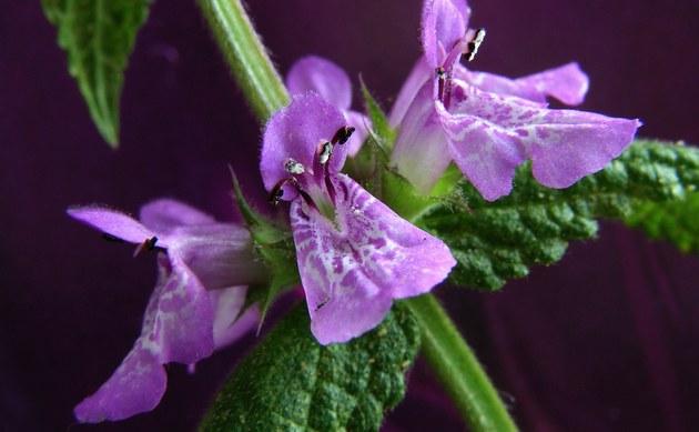 <b>Sumpf-Ziest - <i>Stachys palustris</i></b>