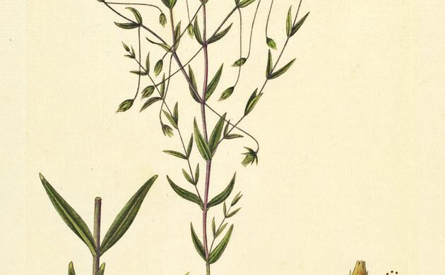 <b>Dickblättrige Sternmiere - <i>Stellaria crassifolia</i></b>