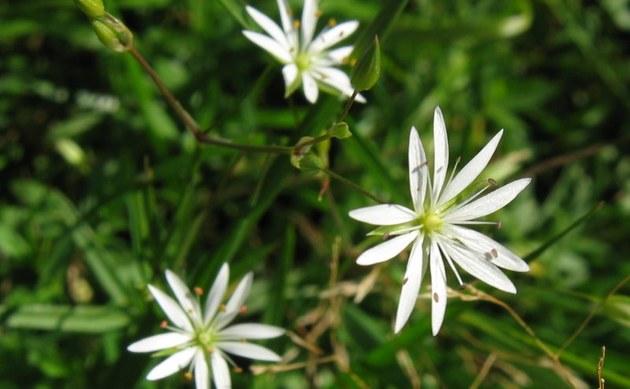 <b>Gras-Sternmiere - <i>Stellaria graminea</i></b>