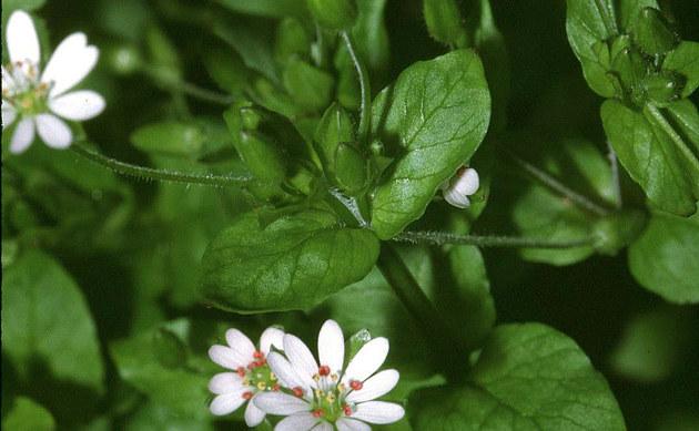 <b>Großblütige Vogelmiere - <i>Stellaria neglecta</i></b>