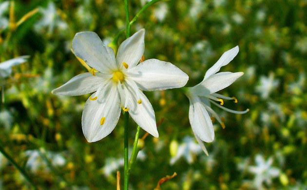 <b>Rispige Graslilie - <i>Anthericum ramosum</i></b>