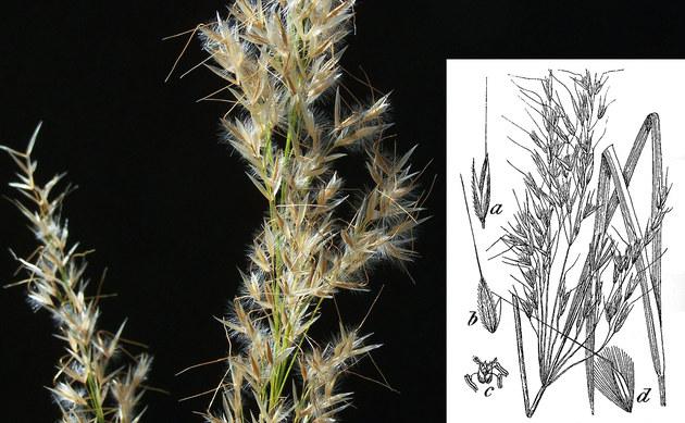 <b>Alpen-Rauhgras - <i>Stipa calamagrostis</i></b>
