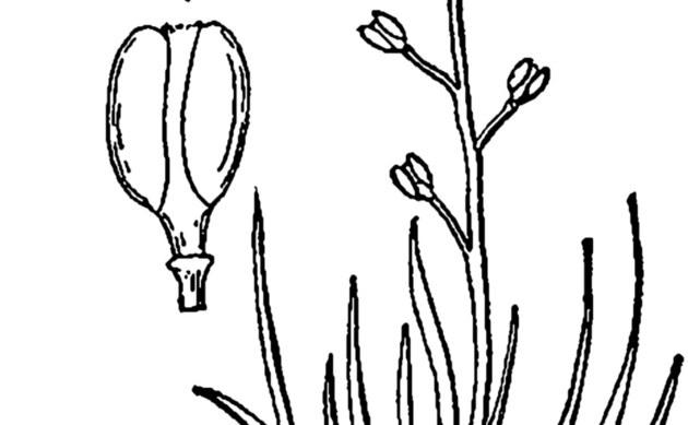 <b>Pfriemenkresse - <i>Subularia aquatica</i></b>