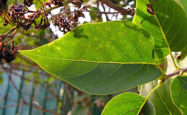<b>Gewöhnlicher Flieder - <i>Syringa vulgaris</i></b>