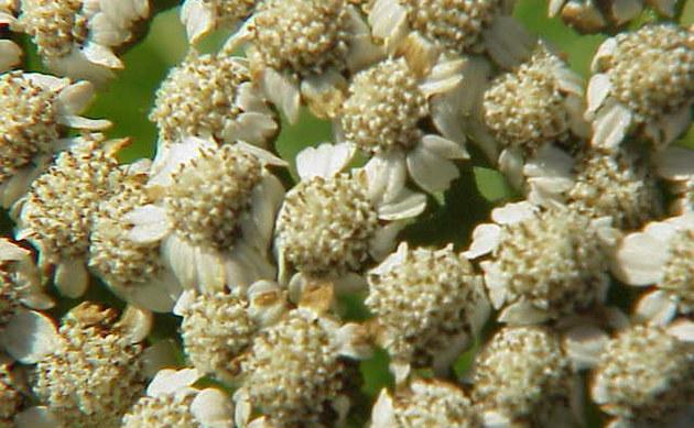 <b>Großblättrige Wucherblume - <i>Tanacetum macrophyllum</i></b>