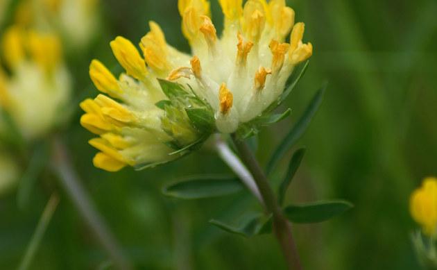 <b>Wundklee - <i>Anthyllis vulneraria</i></b>