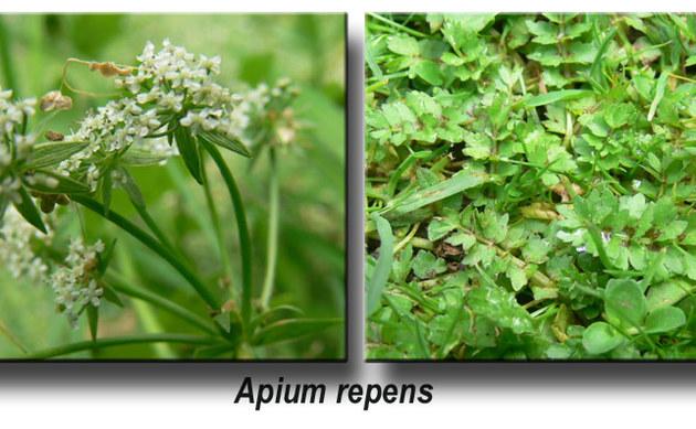 <b>Kriechender Sellerie - <i>Apium repens</i></b>