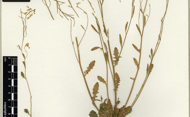 <b>Schwedische Schmalwand - <i>Arabidopsis suecica</i></b>