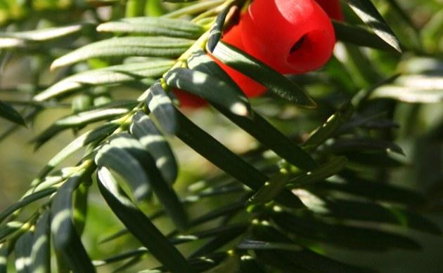 <b>Eibe - <i>Taxus baccata</i></b>