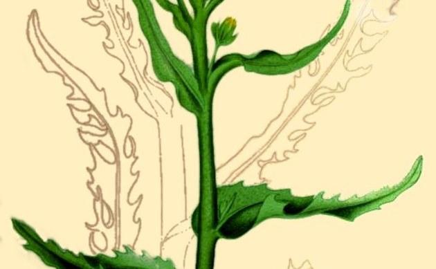 <b>Moor-Greiskraut - <i>Tephroseris palustris</i></b>