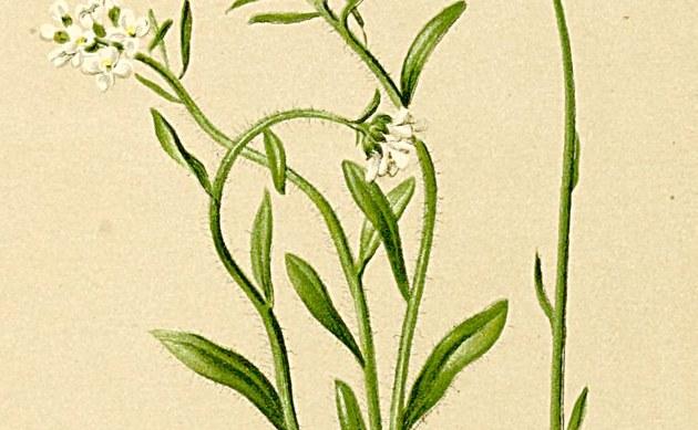 <b>Doldige Gänsekresse - <i>Arabis ciliata</i></b>
