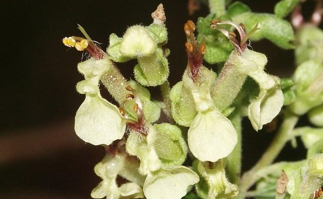 <b>Salbei-Gamander - <i>Teucrium scorodonia</i></b>