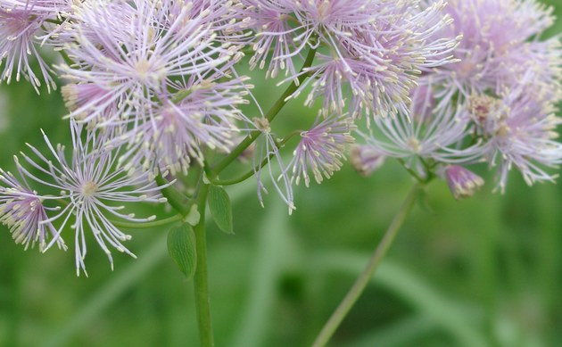 <b>Akeleiblättrige Wiesenraute - <i>Thalictrum aquilegiifolium</i></b>