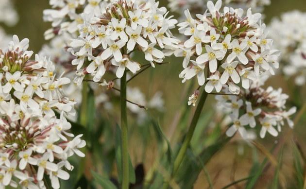 <b>Stengelumfassendes Hellerkraut - <i>Thlaspi perfoliatum</i></b>