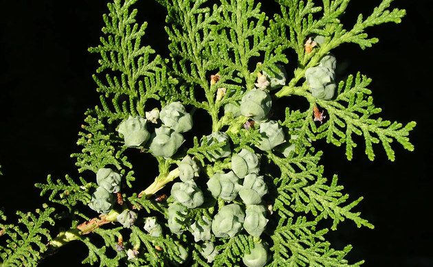 <b>Morgenländischer Lebensbaum - <i>Thuja orientalis</i></b>