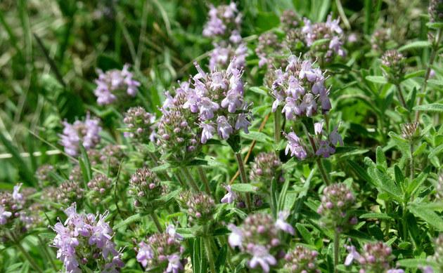<b>Steppen-Thymian - <i>Thymus pannonicus</i></b>