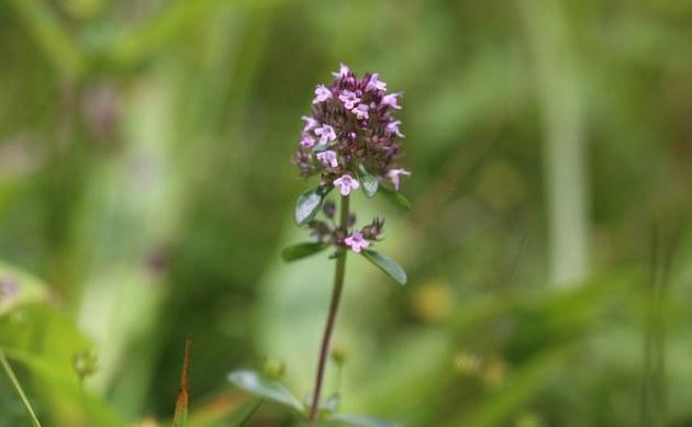<b>Arznei-Thymian - <i>Thymus pulegioides</i></b>
