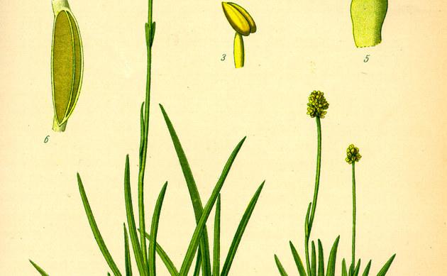 <b>Kleine Simsenlilie - <i>Tofieldia pusilla</i></b>