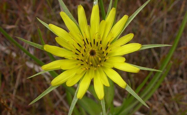<b>Großer Bocksbart - <i>Tragopogon dubius</i></b>