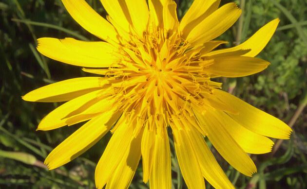 <b>Wiesen-Bocksbart - <i>Tragopogon pratensis</i></b>