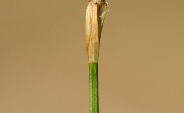 <b>Rasenbinse i.w.S. - <i>Trichophorum cespitosum</i></b>