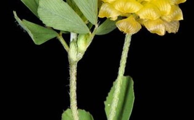 <b>Feld-Klee - <i>Trifolium campestre</i></b>