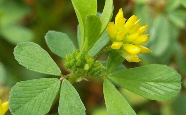<b>Gewöhnlicher Kleiner Klee - <i>Trifolium dubium</i></b>