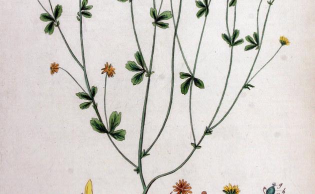 <b>Kleinster Klee - <i>Trifolium filiforme</i></b>