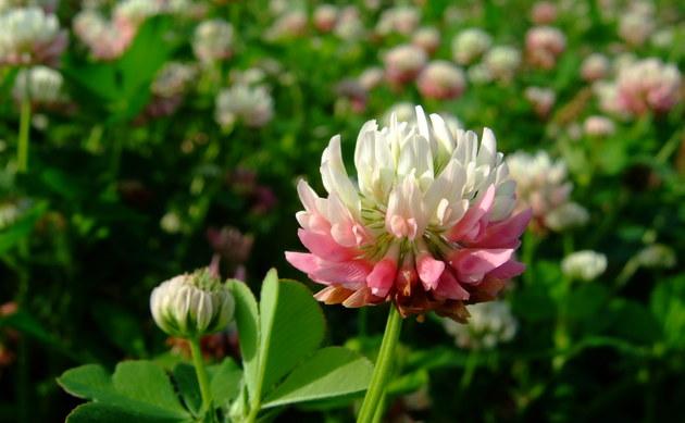 <b>Schweden-Klee - <i>Trifolium hybridum</i></b>