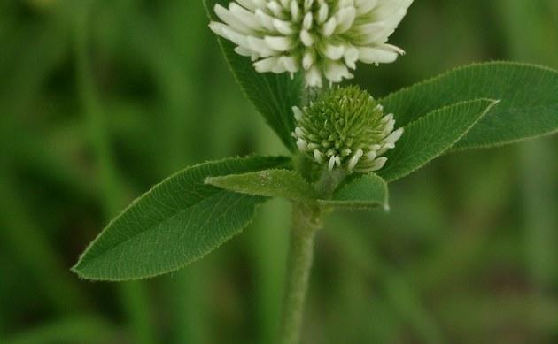 <b>Berg-Klee - <i>Trifolium montanum</i></b>