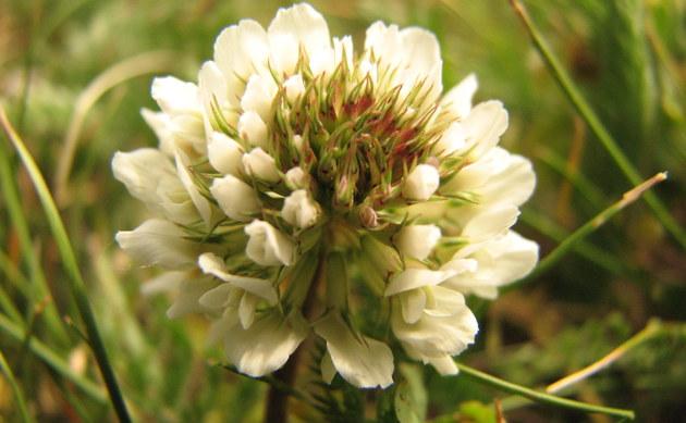 <b>Weiß-Klee - <i>Trifolium repens</i></b>