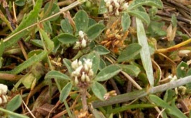 <b>Rauher Klee - <i>Trifolium scabrum</i></b>