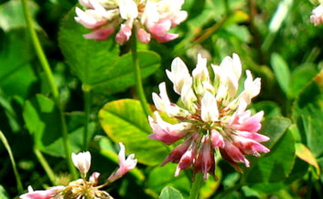 <b>Rasiger Klee - <i>Trifolium thalii</i></b>